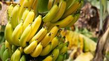 Eine Bananenstaude mit reifen Früchten