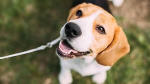 Ein Beagle als Symbolfoto für Nachrichten aus Deutschland