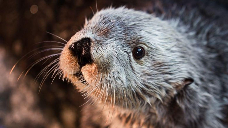Der Seeotter Charlie wurde im Aquarium von Long Beach groß.
