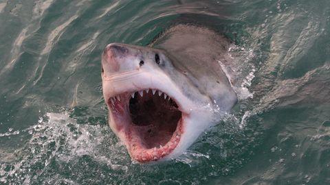 Ein Weißer Hai ragt aus dem Wasser