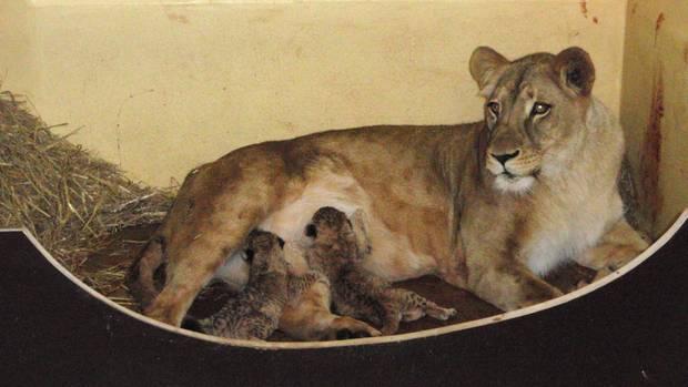 Löwin Bastet