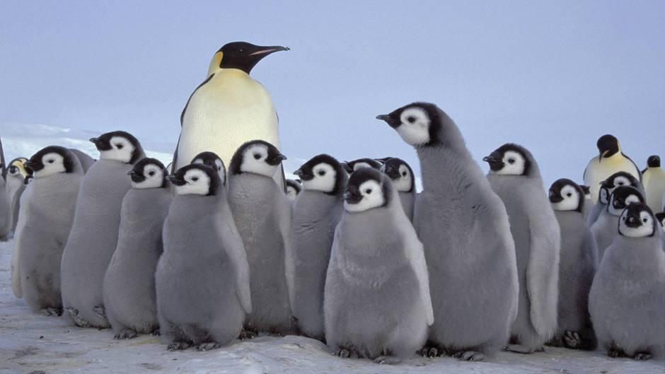 Ein Kaiserpinguin in der Antarktis mit Küken