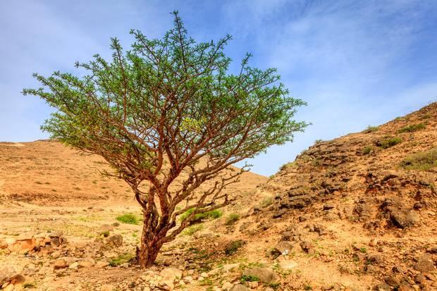 Knorriger Weihrauchbaum in der Wüste