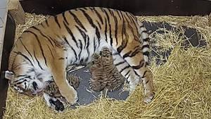 Tigermama Alexa mit ihrem Nachwuchs im Zoo Hannover