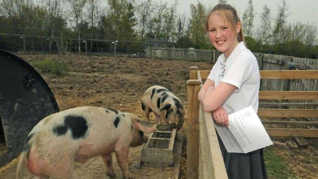 Die Schulschweine mit Schülerin Charlotte Heap, 11, die sich um sie kümmert