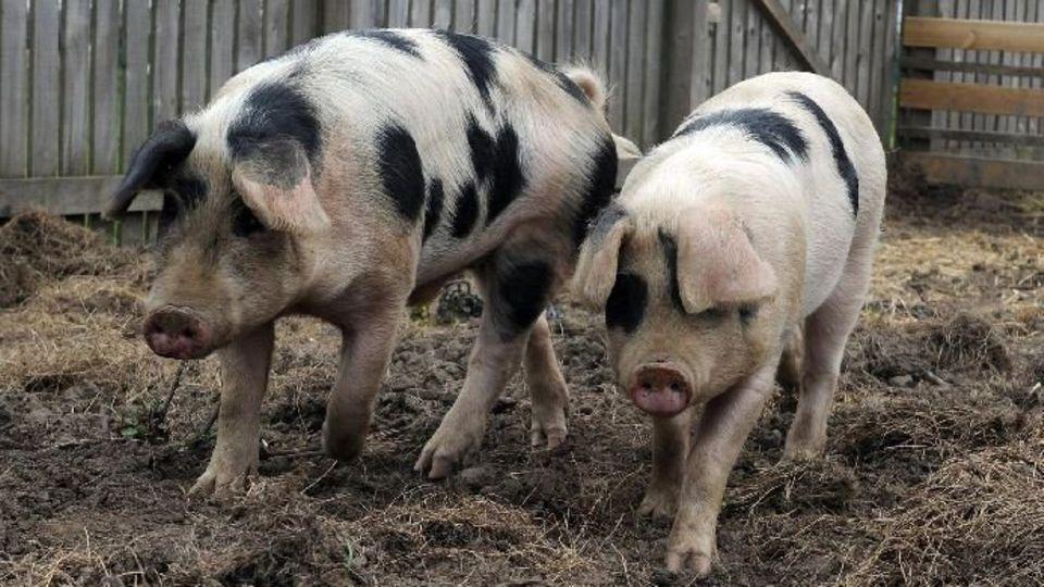 Die beiden gefleckten Schweinchen haben (hatten?) ein gutes Leben
