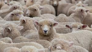 Hunderte Schafe standen plötzlich im Garten der Familie (Symbolbild)