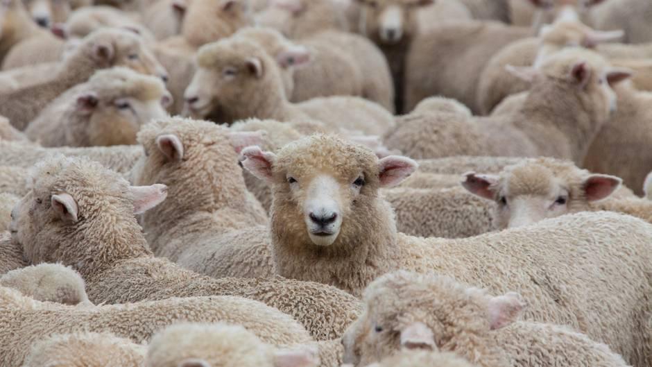 Mann entdeckt hunderte schafe in seinem garten und kann for Schafe halten im garten