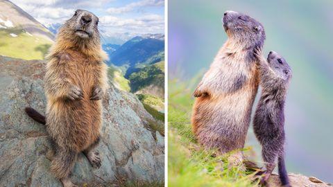 Tierfotografie: Und täglich grüßt das Murmeltier: Die elf lustigsten Bilder der pfiffigen Langschläfer