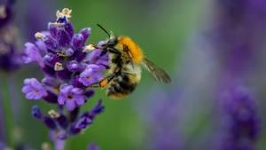 Eine Biene an einer Lavendelblüte