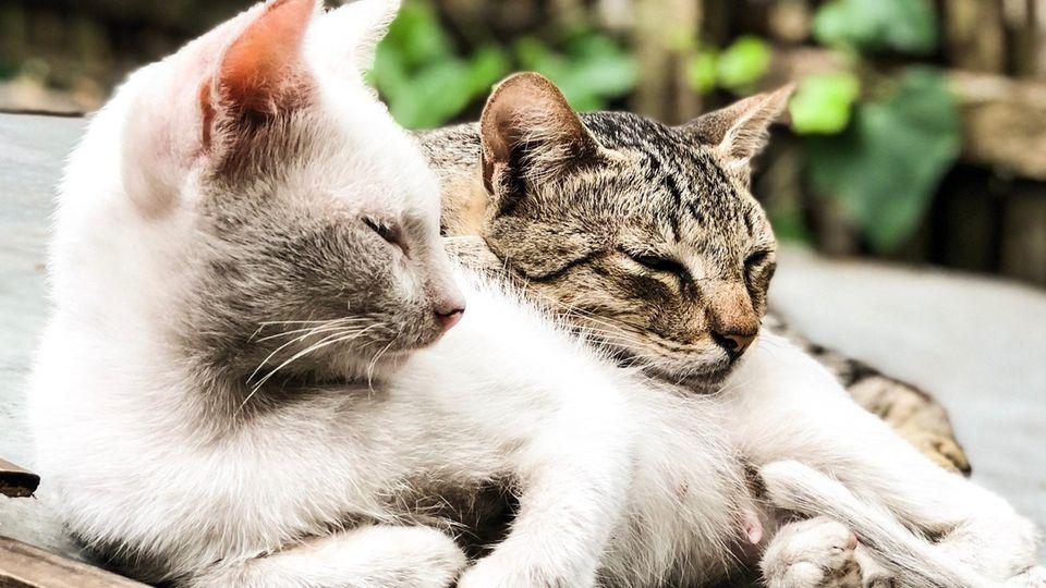 Zwei Katzen kuscheln