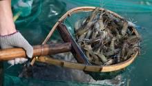 Im britischen Suffolk wurden mit Kokain verseuchte Garnelen in Gewässern gefunden (Symbolbild)