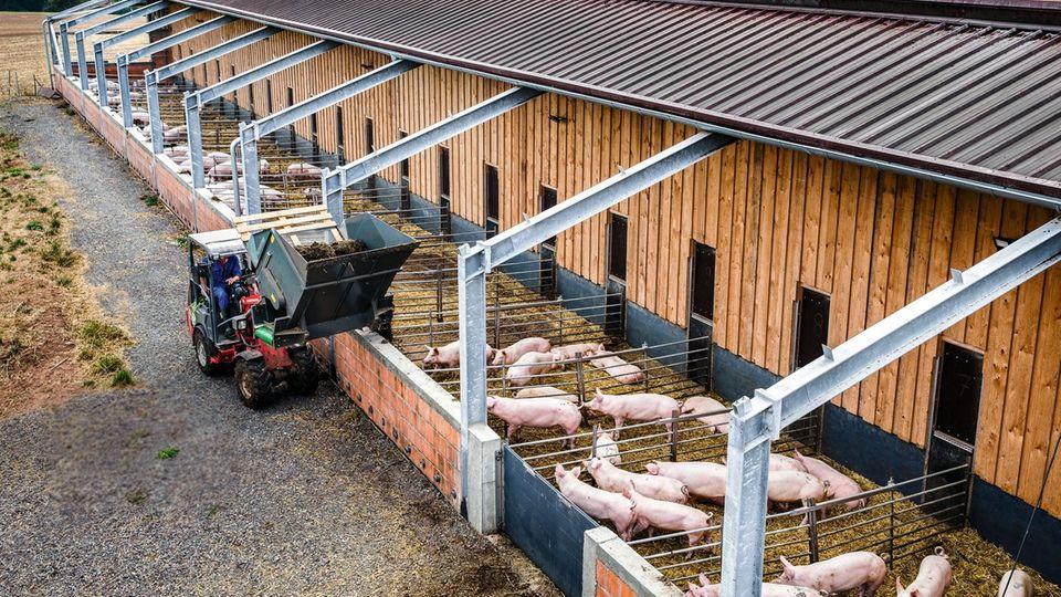 Morgens füttert Bauer Dietzel seine Tiere mit Kleegras. Ihr Fleisch bringt den dreifachen Preis.