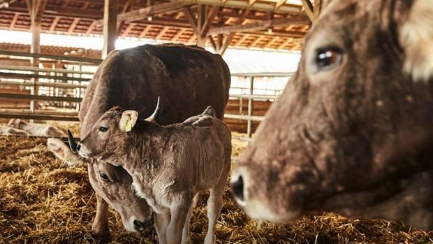 Kuh und Kalb bleiben auf dem Demeter-Hof in Rengoldshausen viele Monate zusammen