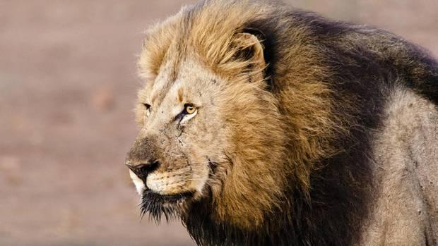 Löwen haben im Serengeti-Park einen Pfleger angegriffen