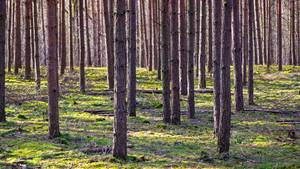 Bäume in einem reinen Kiefernwald