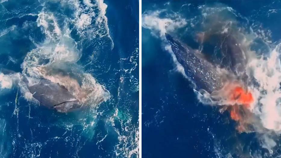Seltene Drohnenaufnahmen: Dramatischer Todeskampf: Fünf Orcas greifen hilfloses Grauwal-Baby an