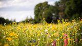 """2. Keine Mogelpackung  Hummeln, Käfer und Schmetterlinge fliegen auf Blüten - sofern dort Nektar und Pollen zu holen sind. """"Gefüllte"""" Blüten, typisch für Rosen oder Dahlien, sehen üppig aus, sind aber verkümmerte Mutanten. Insekten summen an ungefüllten Blüten wie Hundsrosen, Sonnenblumen oder Balkonkräuter wie Thymian und Oregano."""
