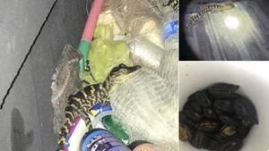 Ein kleiner Alligator, der auf Müll herumklettert und die gefundenen Schildkröten in einem Eimer
