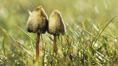 Zwei psychoaktive Pilze mit spitzen Hut stehen auf einer Wiese.