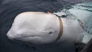 Der Belugawal vor Norwegens Küste mit dem Geschirr um seinen Körper