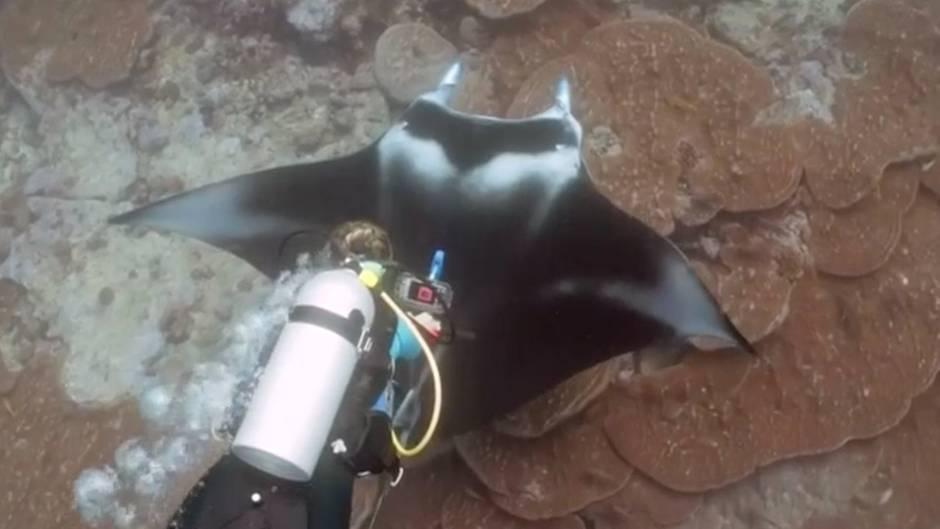 Unterwasser-Expedition: Forscher untersuchen erstmals Mantarochen mit Ultraschallgerät