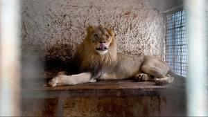 Tierschützer haben Lencizusammen mit zwei anderen Löwen aus einen heruntergekommenen Zoo in Albanien befreit.