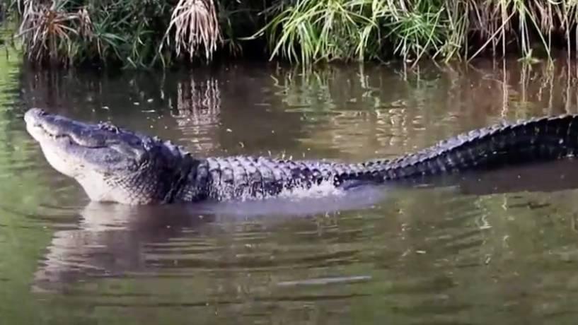 Paarungsbereit: Alligator will Weibchen anlocken – und klingt original wie ein laufender Motor