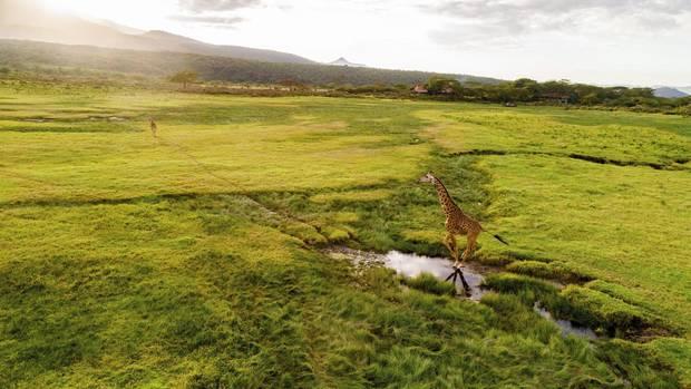Tansania, Arusha-Nationalpark: Giraffen suchen die Nähe des Wassers. Im Hintergrund die Hatari-Lodge, Schauplatz des legendären 50er-Jahre-Films mit John Wayne und Hardy Krüger.