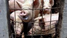 Schweine in China