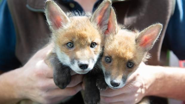 Zwei der Fuchsbabys, die ein britischer Farmer rettete