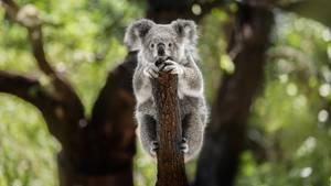 Ein einsamer Koala klammert sich an einen Baumstamm