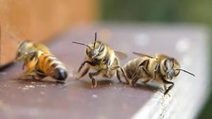 """Platz da! Heute ist der """"Welt Bienentag"""". Eine Sammlerbiene bringtim rasanten Anflug auf den Bienenstock die beiden Wächterbienen ins Straucheln."""