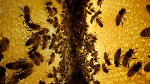 Auf der Straße des Honigs  Die Vorräte der Kolonie auf zwei parallelenWaben. Für ein Kilogramm Honig braucht es rund 50,000 Flüge und 1000 Blütenbesuche. Honig stellt vor allem eine Energiequelle dar: EinMilligramm Honigliefert rund 12 Joule. Die Kolonie verbraucht zwei Millionen Joule, um über den Winter zu kommen - als rund 35 - 30 Kilogramm Honig. Im Sommer erreicht ein Volk seine stärkste Größe von etwa 50.000 Bienen. Vier Wochen beträgt die Lebenszeit einer Biene in dieser Phase. Im Winter schrumpft das Volk auf etwa 5000 Bienen, die dicht beieinander in einer Traube hängen und durch beständiges Flügelschlagen den Bau aufheizen. Diese Winterbienen sind im Frühjahr die Vorhut für die dann heranwachsende neue Generation.