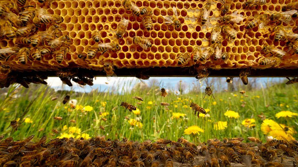 Von Innen nach draußen geschaut  Das Foto zeigtein geschäftiges Treiben auf dem Flugbrett vom Inneren eines Bienenstocks aus gesehen. Ein Bienenvolk, das seine selbst gebauten Waben im Inneren eines Hohlraums bevölkert, bildet eine weitgehend autarke organische Einheit. Die Bienen fliegen nur aus, um Vorräte zu sammeln, wenn sie sich über das Schwärmen vermehren wollen oder beim Hochzeitsflug, wenn die männlichen Bienen die Königinnen eines anderen Volkes begatten.