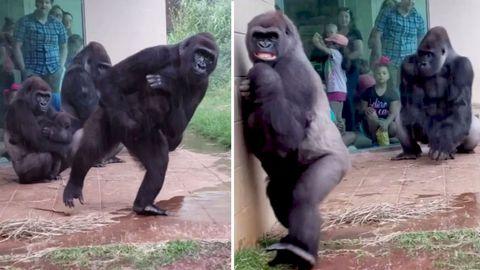 Gorillas im Riverbanks Zooin Columbia, South Carolina, versuchen denRegen zu meiden und möglichst trocken insInnengehege zu gelangen.