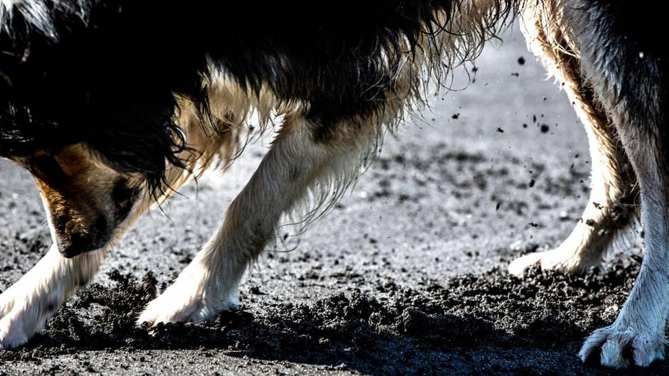 Ein Hund gräbt