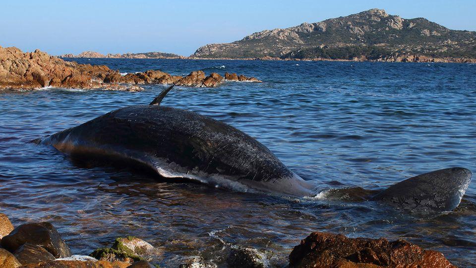 Wal liegt tot am Strand