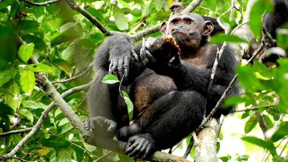 Schimpansen fressen Schildkröten