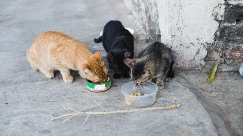 Streunende Katzen beim Fressen