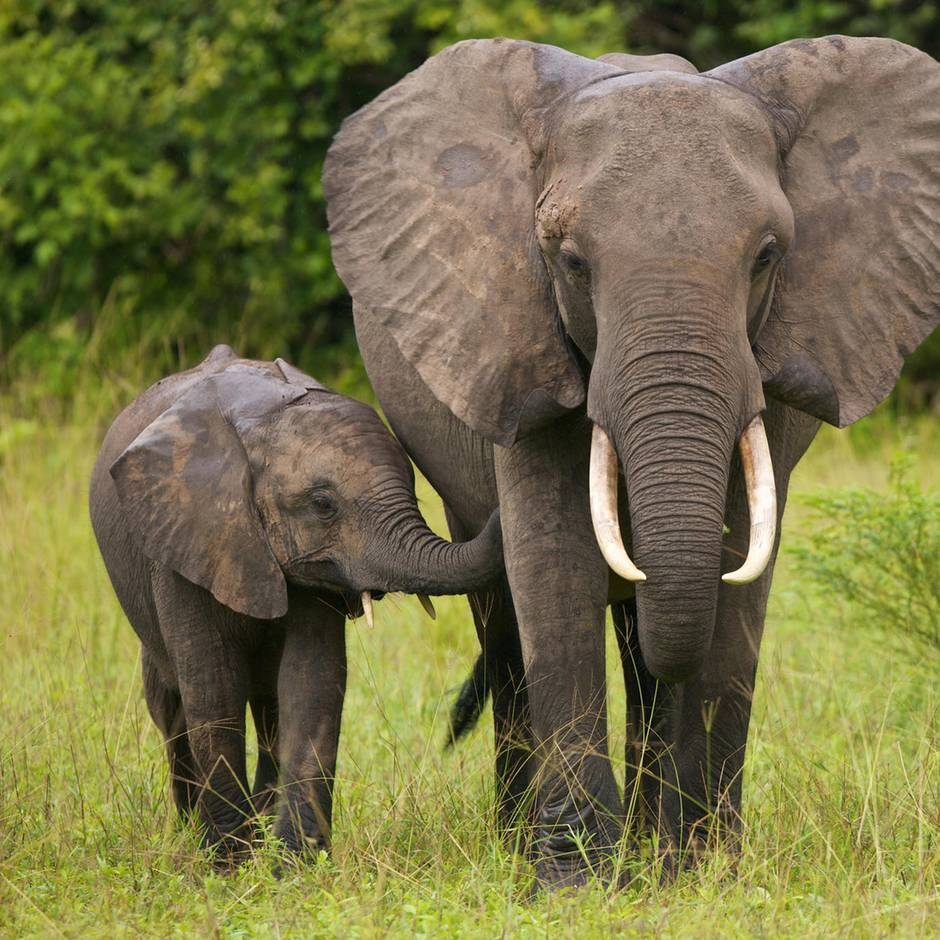 Tierschutz: Wieder erlaubt: Regierung von Botswana hebt Verbot von Elefantenjagd auf