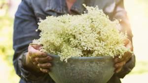 Holunderblüten sammeln: Das müssen Sie beachten