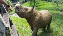 """Sumatra-Nashorn """"Tam"""" auf Borneo, Malaysia"""