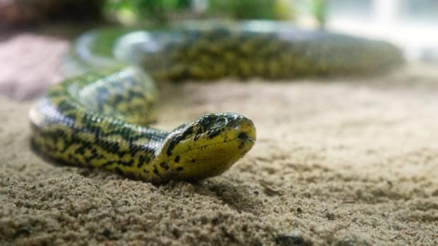 Eine Anakonda vermehrte sich, ohne je ein Männchen getroffen zu haben