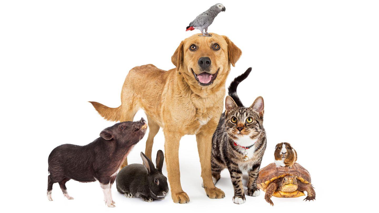 Golden Retriever mit Wellensittich auf dem Kopf, getigerte Katze, Meerschweinchen auf Schildkröte, Hase und Hausschwein