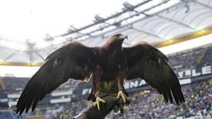 Der Eintracht-Adler (lebendiger Vogel)