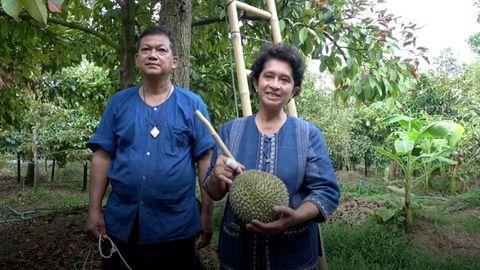 """Thailändische Obstbauern bei der Ernte von Durian-Früchten der seltenen Sorte""""Kanyao""""."""