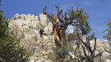 Kalifornien, USA: Methuselah Loop Trail  Auf dem kurzen, steilen, aber reizvollen Rundweg von 7 Kilometer Längekann man einen der ältesten Bäume der Welt besichtigen. Der besagte Baum ist die Methusalem-Kiefer, eine Borstenkiefer im Great Basin, die im Westen der USA heimisch und für ihre außergewöhnliche Langlebigkeit bekannt ist. Die Kiefernart ist fast 5000 Jahre alt und wächst mitten in den White Mountains des Inyo National Forest, einem 8000 Quadratkilometer großen Waldgebiet mit Berggipfeln, Seen, Flussläufen und reicher Tierwelt. Der Trail beginnt und endet am Schulman-Grove-Besucherzentrum; von dort geht es 61 Meter hinauf zum Methusalem-Hain am Berghang. Zum Schutz des Baumbestands werden genauere Angaben geheim gehalten – man muss raten, welcher Baum fast 5000 Jahre alt ist.