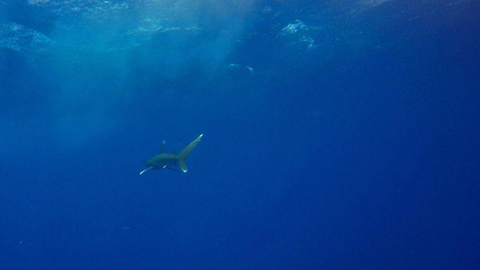 Ein Hai im Roten Meer bei Ägypten. Was für ein Tier genau den Teenager in Florida angriff, ist nicht bekannt.
