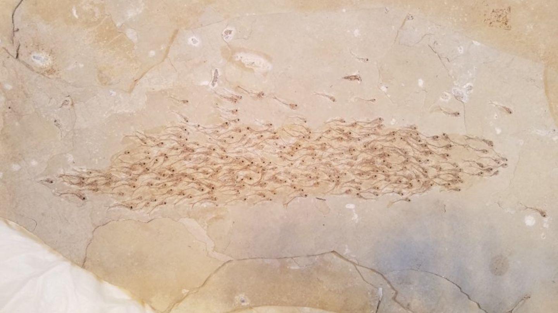 Ein fossiler Fischschwarm in Kalkgestein